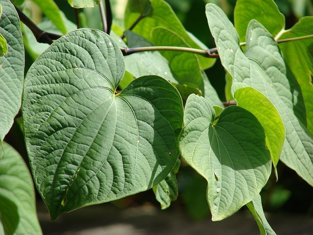 Kava for Anxiety Leaves