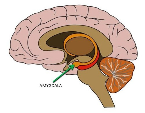 Breaking Out of Homeostasis Review Amygdala